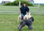 Banff au herding