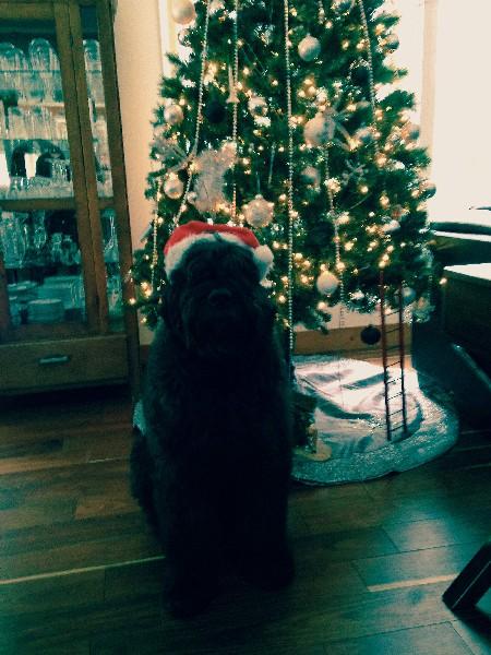 Bouvier des Flandres de Noel